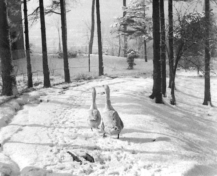 Ganzen in de sneeuw