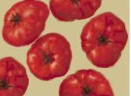 tomatoj